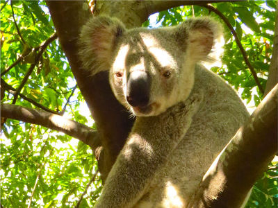 A photograph by Bernadette Boscacci of a koala in a tree.